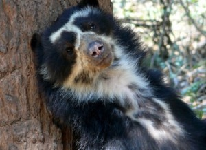 Actual spectacled bear from Peru.