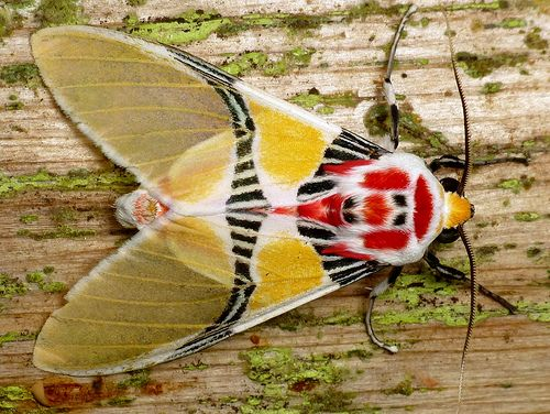 Clown Moth